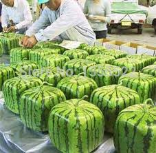 Family Garden - 30 square watermelon seed sieve watermelon seeds and fruits rare