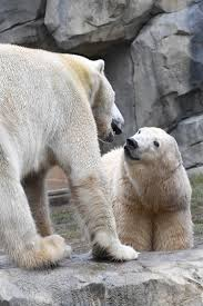 snow got you down these pictures of polar bear love will change