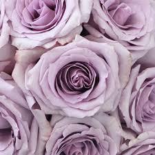lavender roses song lavender