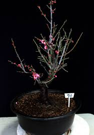 flowering u0026 fruiting apricot specimen bonsai tree u2013 house of bonsai