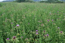 what are non native plants think twice before killing those thistles thistle identification
