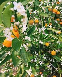 eau de fleur d oranger cuisine un peu de fleur d oranger en cuisine