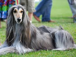 afghan hound grooming styles lévrier afghan chiens pinterest afghans afghan hound and
