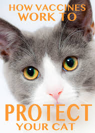 cat vaccinations cost safety and kitten vaccination schedules how vaccines work to protect your cat from disease