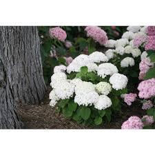 white hydrangea proven winners invincibelle wee white smooth hydrangea live shrub