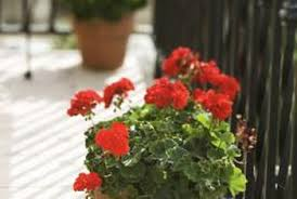 Why Are My Plants Turning by Why Are My Geranium Leaves Turning Red Home Guides Sf Gate