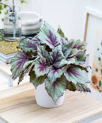 Buy House Plants Beleaf Begonia U0027morning Dew U0027 Indoor Pinterest Morning Dew