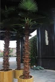 indoor decoration palm tree pots fiberglass palm tree buy palm