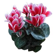 Flower Seeds Online - buy futaba cyclamen flower seeds pink and white 100 seeds