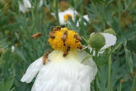 native plants california 3 ways california drought is affecting bee populations