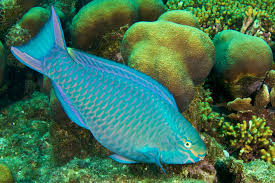 to save coral reefs start with parrotfish u2013 national geographic