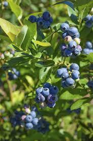 829 best blueberry cottage images on pinterest fruit