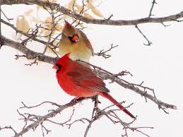 Nc Backyard Birds Northern Cardinal State Symbols Usa