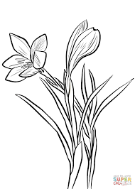 spring crocus coloring page free printable coloring pages