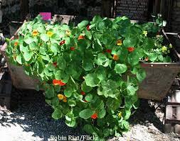 nasturtium flowers growing nasturtium flowers spicy beautiful nasturtium plants