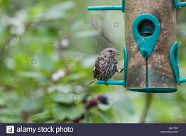 pine siskin carduelis pinus colorful bird perched and feeding at