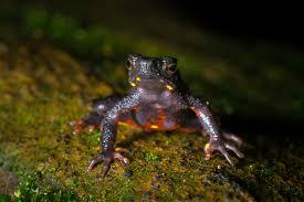 herping honey valley frogs u0026 snake photography saurabh sawant