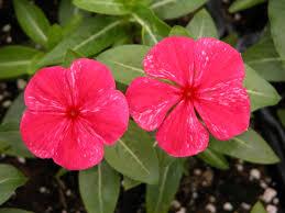 vinca flower tips for producing vinca bedding plants greenhouse product news