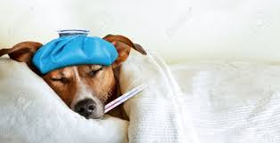 sick dog images u0026 stock pictures royalty free sick dog photos and
