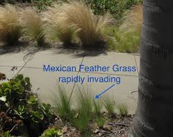 planting native grass seed invasive mexican feather grass u2013 california native plant society blog
