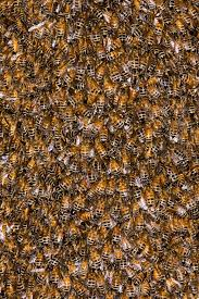 file kevincole western honey bees apis mellifera by jpg