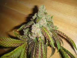 I Am Sofa King We Todd Did by Sour Diesel Vs Og Vs Chem Since All Are Different Marijuana