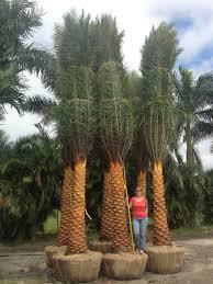 sylvester palm tree sale sylvestris sylvestris palmco wholesale palms florida