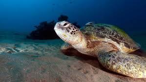 imagenes tortugas verdes tortugas verdes cambian de sexo por culpa del calentamiento global
