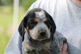 bluetick coonhound for sale in va view ad bluetick coonhound puppy for sale texas college station