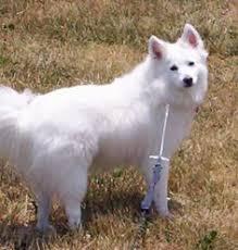 american eskimo dog intelligence the miniature american eskimo dog is intelligent and fairly simple