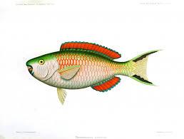 animal u2013 fish vintage printable swivelchair media u2013 beta