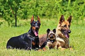 australian shepherd or german shepherd doberman vs german shepherd which is right for you