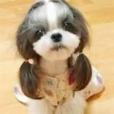 haircut for morkies images morkie haircuts