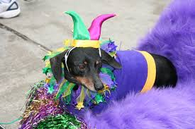 mardi gras dog 17 dogs who are ready for mardi gras