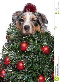 australian shepherd ornament australian shepherd dog dressed as christmas tree stock image