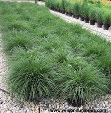 54 best ornamental grasses images on ornamental