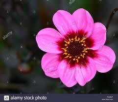 dahlia happy single wink pink purple dahlias flower flowers bloom