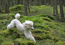 bichon frise good and bad poodle dog breed information pictures characteristics u0026 facts