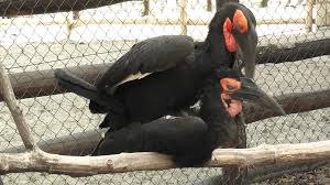 marlene and dietrich southern ground hornbill couple bonding