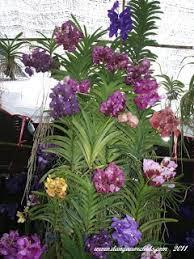 orchid plants for sale orchids de dangau jalan jalan ke hatyai thailand visiting