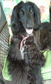 afghan hound therapy dog exquisite