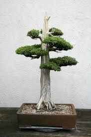83 best unbelievable bonsai images on pinterest bonsai trees