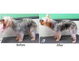 yorkie haircuts for a silky coat pet grooming the good the bad the furry scissoring a yorkie