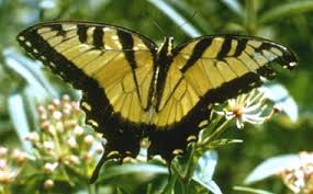 virginia state insect tiger swallowtail butterfly