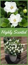 25 trending dwarf gardenia ideas on pinterest dwarf shrubs full