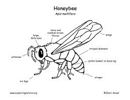 Virtual Frog Dissection Worksheet Bee Leg Anatomy Choice Image Learn Human Anatomy Image