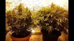 northern lights yield indoor northern lights green house auto youtube