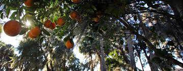 facts about florida oranges citrus visit florida