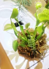 how to grow venus flytrap in an indoor garden u2013 click u0026 grow