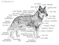 Dog Anatomy Poster Dog Anatomy Laminated Poster Vet Tech Pinterest Dog Anatomy